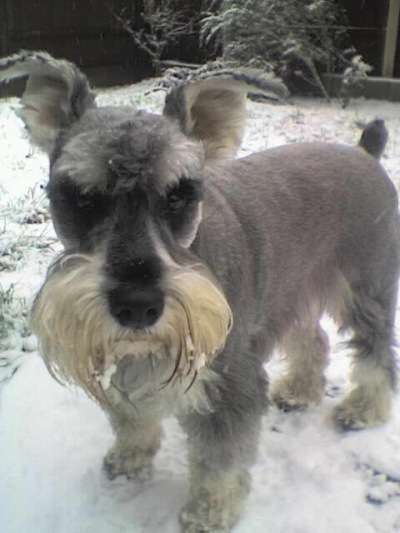 Apollo: A Diabetic Miniature Schnauzer