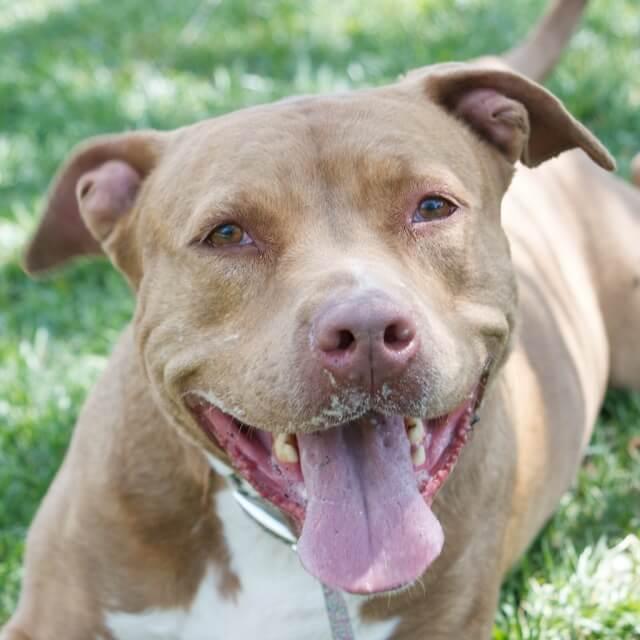Adoptable Dog Amber