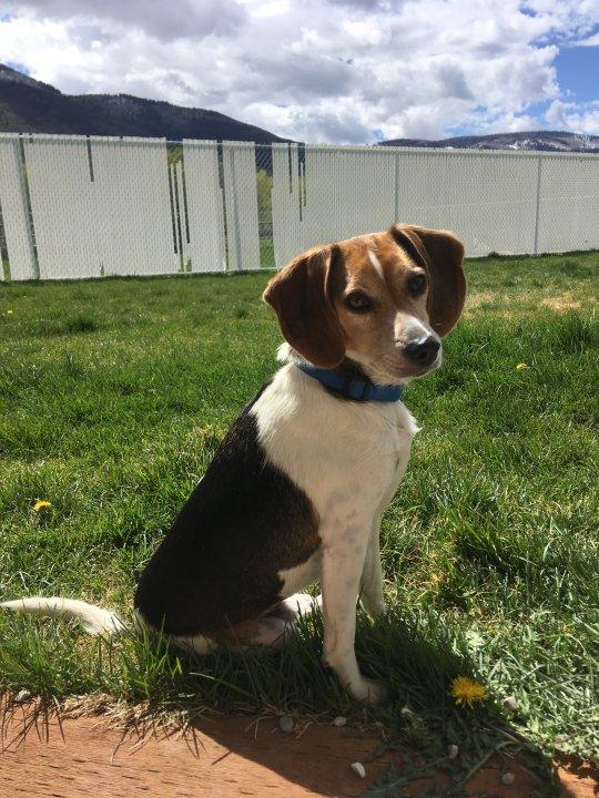 Adoptable Dog Bogart
